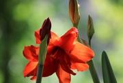 19th Jun 2018 - amaryllis bloom