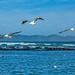 Gulls doing their rounds