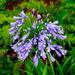 Agapanthus (Nile blue lily)