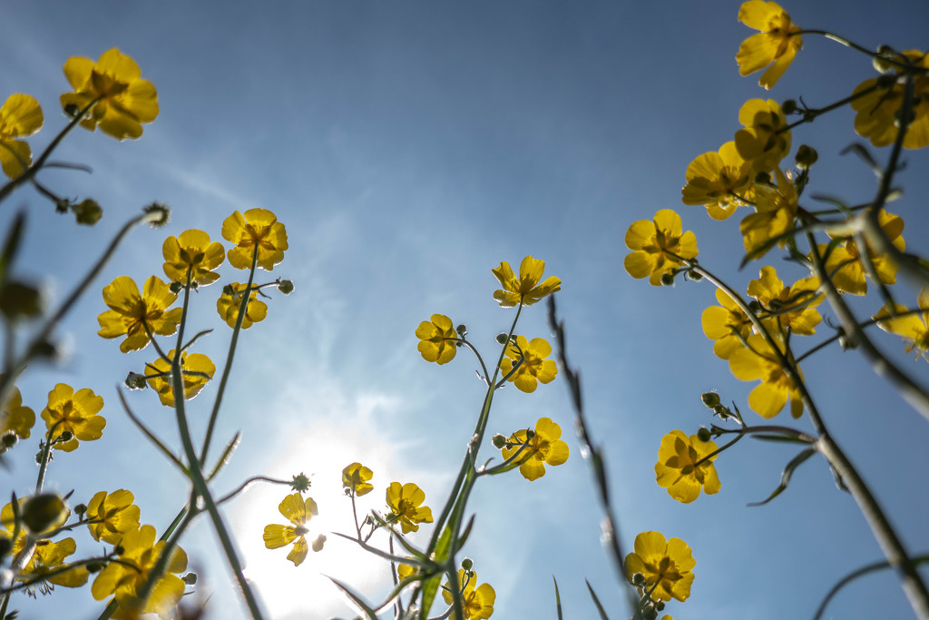 Mouse eye view of the buttercups.... by susie1205