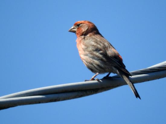 Male House Finch by seattlite