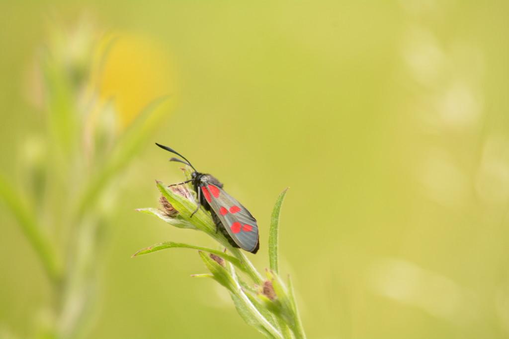 Burnet moth profile.... by ziggy77