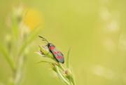 20th Jun 2018 - Burnet moth profile....