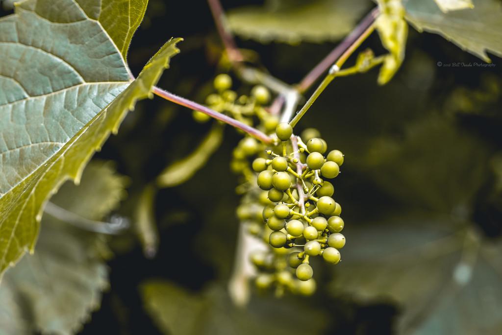 Wine Bush.1 by bill_fe