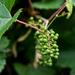 Wine Bush