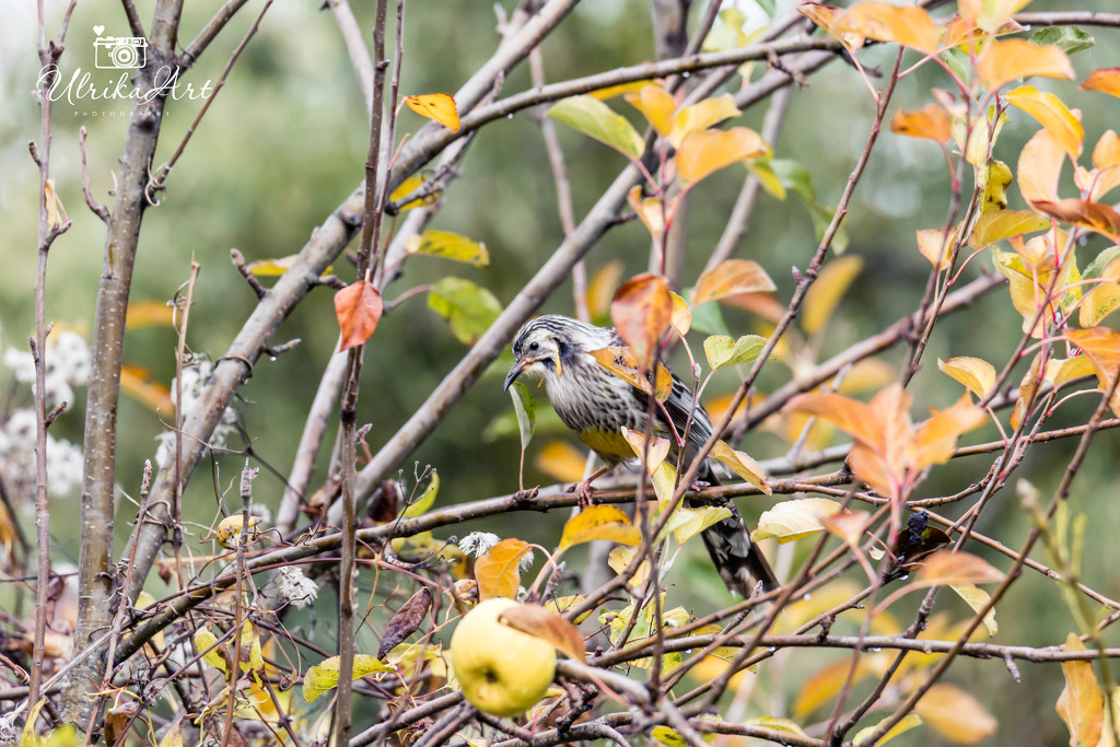 yellow wattlebird by ulla