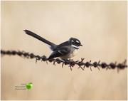 21st Jun 2018 - Bird on a wire