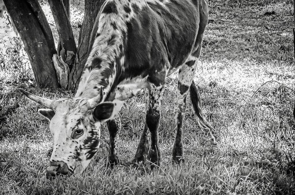 A Nguni calf for the B&W challenge by ludwigsdiana