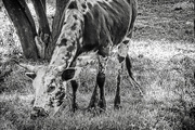 21st Jun 2018 - A Nguni calf for the B&W challenge