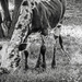 A Nguni calf for the B&W challenge