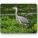 Young Grey Heron