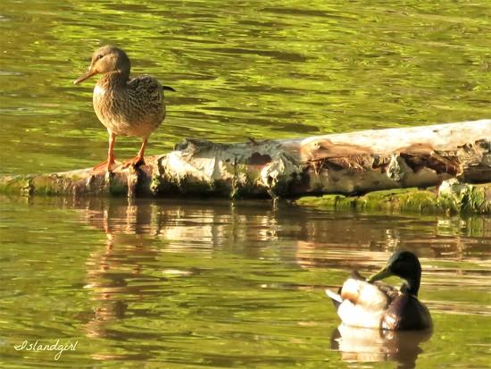 Ducks  by radiogirl
