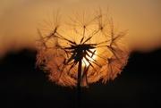 21st Jun 2018 - Summer Solstice Sunset Seedhead