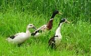22nd Jun 2018 - ducks
