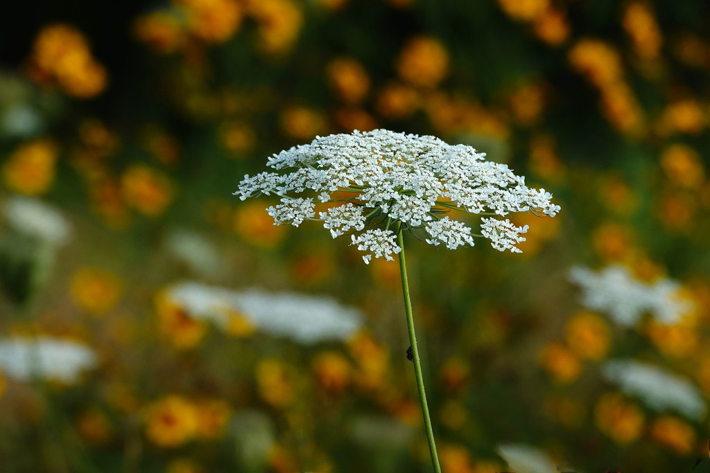 The Season for Queen Anne's Lace by milaniet
