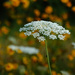 The Season for Queen Anne's Lace