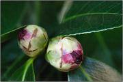 21st Jun 2018 - Winter Garden IV - Camellia Buds