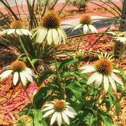 22nd Jun 2018 - The courthouse cone flowers