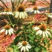 The courthouse cone flowers