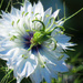 Love-In-A-Mist Bloom (After Shot)  by seattlite