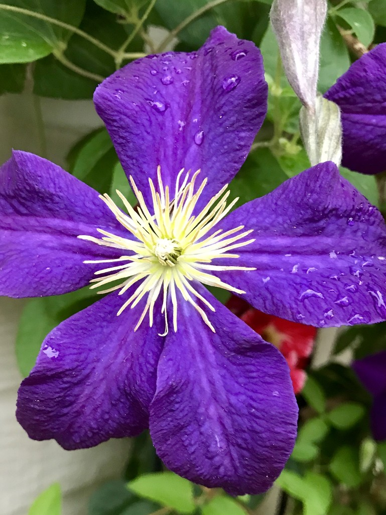 Clematis  by suelbiz47