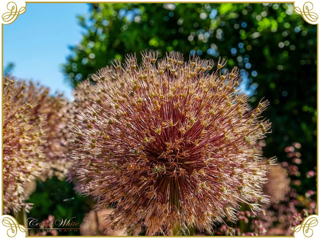 Alium Seed-head And Bokeh by carolmw