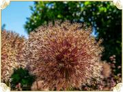 22nd Jun 2018 - Alium Seed-head And Bokeh