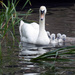Swan with Cygnets by cmp