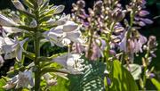22nd Jun 2018 - Hosta Flowers