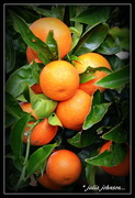 22nd Jun 2018 - Mandarins ..