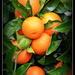 Mandarins ..