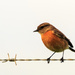 Female African Stone Chat by mv_wolfie
