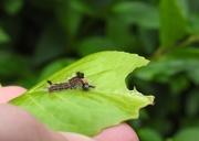 20th Jun 2018 - Vapourer caterpillar