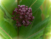 22nd Jun 2018 - milkweed vignetting