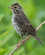 22nd Jun 2018 - Savannah Sparrow closeup portrait