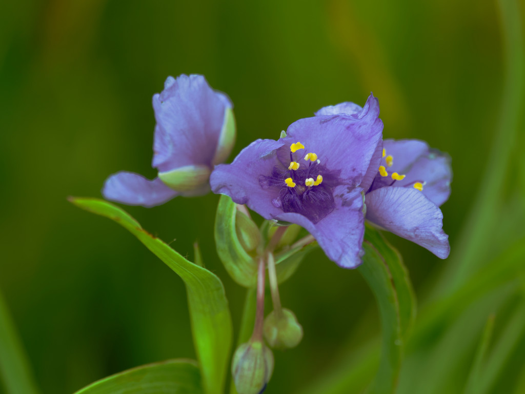 Spiderwort fantasy by rminer