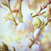 Yucca Flowers  by joysfocus