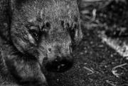 15th Jun 2018 - wombat