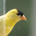 Goldfinch Peaking Around the Corner