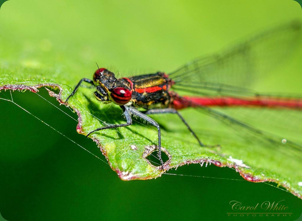 Small Red Damselfly. (best viewed large) by carolmw