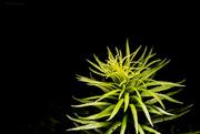 23rd Jun 2018 - Decorative Weed