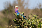 23rd Jun 2018 - Lilac-breasted Roller