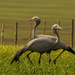 Blue cranes by mv_wolfie