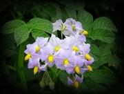 24th Jun 2018 - potato flower