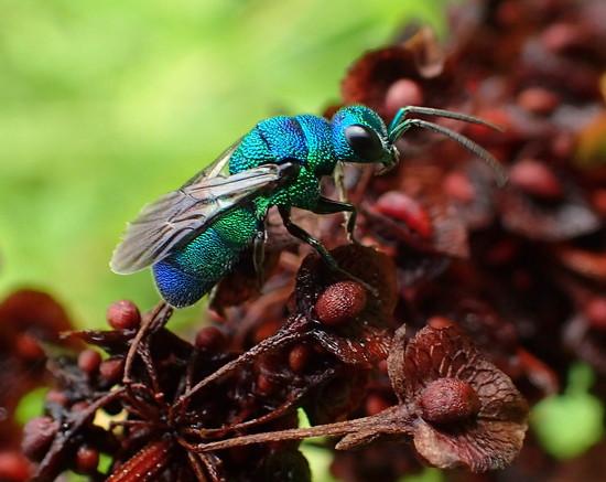 Cuckoo Wasp by cjwhite