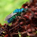 Cuckoo Wasp by cjwhite