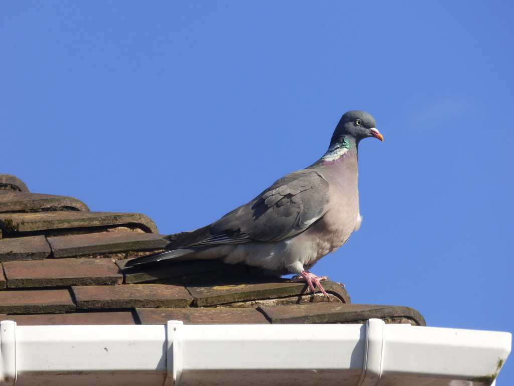 Mr Woodie on the roof top ! by beryl