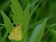 23rd Jun 2018 - sulphur butterfly
