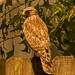 Red Shouldered Hawk!
