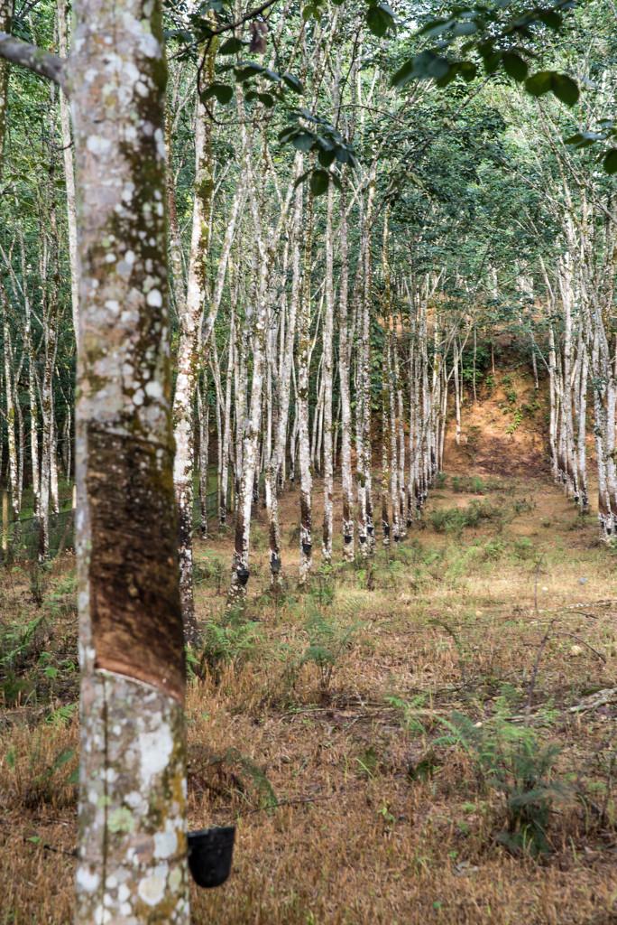 Rubber Trees by ianjb21